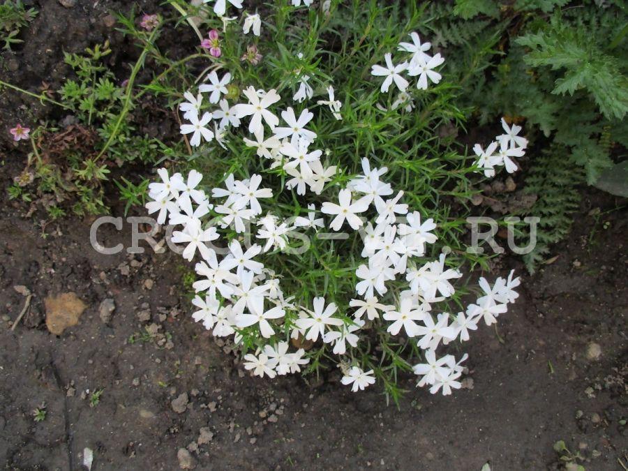 Изображение товара: Флокс шиловидный «White Delight»